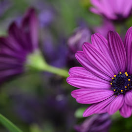 Osteospermum (aka Cape or African Daisy) by Yani Dubin - Nature Up Close Gardens & Produce (  )