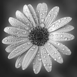 R2 by Abdul Rehman - Black & White Flowers & Plants ( beauty of nature, natural light, beautful, colorful, dew, colors, dew drop, beauty, mother nature, colours, nature, rain drops, natural, rain )