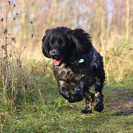 Spaniel Pup Gallop by Chrissie Barrow - Animals - Dogs Running ( roan, cocker spaniel, pet, white, fur, legs, dog, running, black )