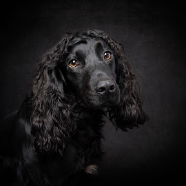 Cocker Spaniel Fine Art  by Jude Stewart - Animals - Dogs Portraits ( spaniel, fine art, cocker, portrait )