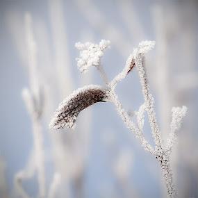 Ice flower by Zoran Mrđanov - Nature Up Close Leaves & Grasses (  )
