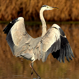 Grey Heron by Manoj Kulkarni - Animals Birds ( water, takeoff, sharp, wildlife, long, heron, wader, bird, flying, nature, landing, wings, beak, grey, black )