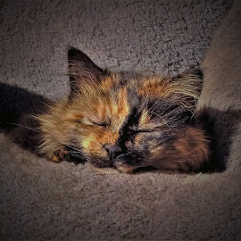 Cozy Kitty by Sue Delia - Animals - Cats Portraits ( sleep, feral, cozy, cat, nap, pet, calico,  )