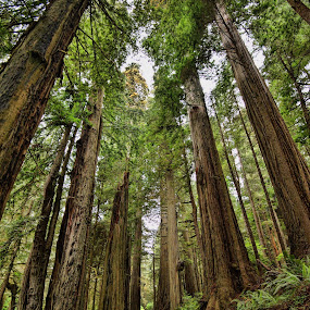 Redwoods by Bud Schrader - Nature Up Close Trees & Bushes