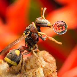 Wasp 150331 by Carrot Lim - Animals Insects & Spiders