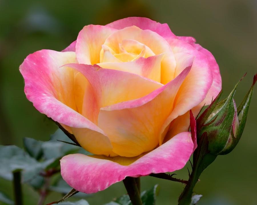 Rose 9964 by Raphael RaCcoon - Flowers Single Flower