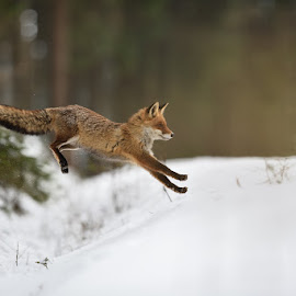 Jump by Bencik Juraj - Animals Other Mammals ( red fox, winter nature, nature, fox, jump,  )