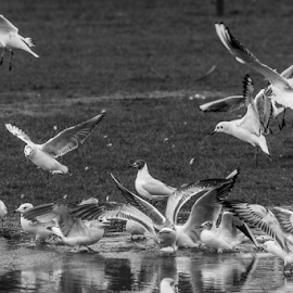 Birds by Garry Chisholm - Black & White Animals ( nature, bird, flying, tern, gull, garry chisholm )