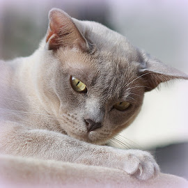 Mathilda by Caroline Beaumont - Animals - Cats Portraits ( lilac burmese cat )