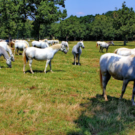 Lipica - Slovenia by Jerko Čačić - Animals Horses (  )
