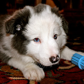 The new puppy. by Peter DiMarco - Animals - Dogs Puppies ( doggie, blue, puppy, dog, animal )