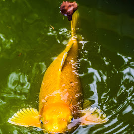 Yellow Koi Fish by Cristina Duarte - Animals Fish ( yellow koi fish, golden koi fish, koi fish, fish, koi )