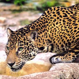 by Judy Rosanno - Animals Lions, Tigers & Big Cats ( san antonio zoo, november 2017 )