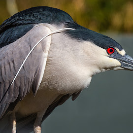 Black-crowned Night Heron by Dave Lipchen - Animals Birds ( black-crowned night heron )