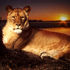 Africa by Stephanie Veronique - Uncategorized All Uncategorized ( water, nature, lioness, sunset, landscape, evening, river, animal )