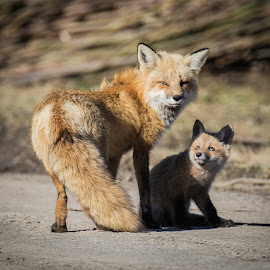 She is pretty my mother ! by Réjean Biron - Animals Other Mammals ( fine-art, canon, montreal, fox, renard roux, animal in the snow, wildlife, botanic, white snow, photography, fox cub, fox fine-art, snow, fur, nature photography, nikon, femelle, animal, mammals, nature animals, renard, mammal, red fox, winter time, winter, red, quebec, jardin botanique, renardeau, female, garden, female red fox )