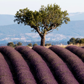 Tree in lavender field by Pietro Ebner - Landscapes Prairies, Meadows & Fields ( field, tree, france, lavender, valensole )