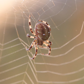 At dawn by Vitaly Stasov - Novices Only Macro ( spider web, at dawn, drops, the spider went hunting., spider, summer, morning )