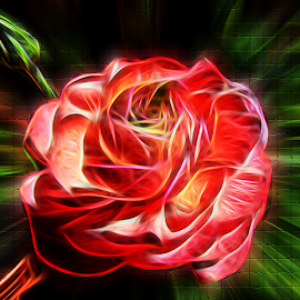 by Dipali S - Digital Art Things ( plant, floral design, blooming, bloom, blossom, love, single flower, flower head, ranunculus asiaticus, summer, pink, closeup, floral, flower, petal, buttercup )