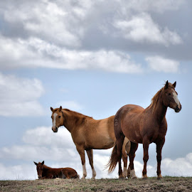 Clouds & Horses by Trudy Mader - Animals Horses