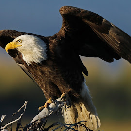 Majestic Eagle by Anthony Goldman - Animals Birds ( bird, wild, predator, eagle, wildlife, homer alaska )