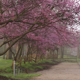 Red Bud Row by Robin Smith - Novices Only Landscapes ( nature, trees, flowers )