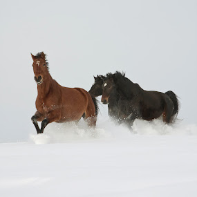 run by Eriks Zilbalodis - Animals Horses ( animals, winter, horses, white, brown, run, black )