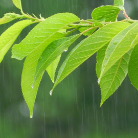 Rain and Green Leaves by Karen Carter - Nature Up Close Leaves & Grasses ( green, leaves, rain )
