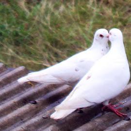 A Symbol of Loyalty by Nur Alamsyah - Novices Only Pets ( love, white, loyalty, lovebirds, birds, dove )