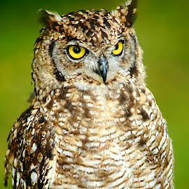 North american owl by Gérard CHATENET - Animals Birds