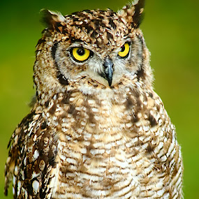 North american owl by Gérard CHATENET - Animals Birds