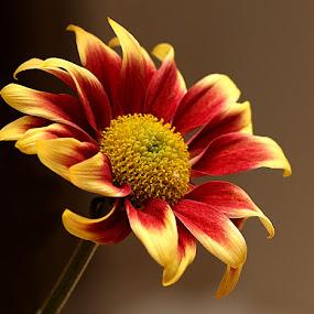 Mini Chrysanth by Chrissie Barrow - Flowers Single Flower ( red, single, stamens, petals, chrysanthemum, brown, stem, yellow, cut, bokeh, mini, flower, miniature,  )