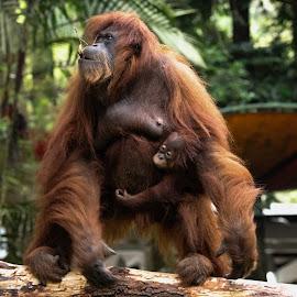 Orang Utan by Bernard Tjandra - Animals Other Mammals