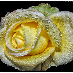rose by Anand Kumar - Nature Up Close Flowers - 2011-2013 ( rose, petals, close up, flower, droplets )