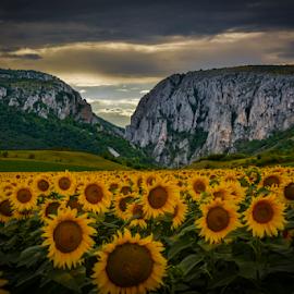 Sunflowers by Zoly Szilveszter - Uncategorized All Uncategorized ( mountain, sunflowers, visit, romania, travel, yellow, turda, landscape, noperson, yellow flowers, national park, nature, weather, summer,  )