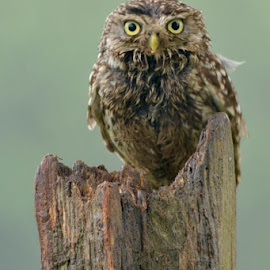 Little owl this morning! by Susannah Ross - Uncategorized All Uncategorized ( bird, little owl, nature, owl )