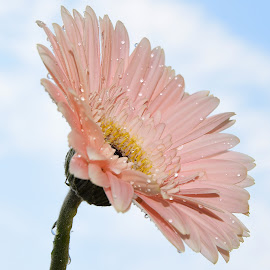 pink gerber by LADOCKi Elvira - Flowers Single Flower ( nature, flowers, garden )
