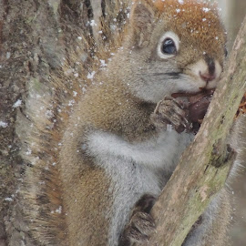RED SQUIRREL SNACKING by Laura Cummings - Animals Other
