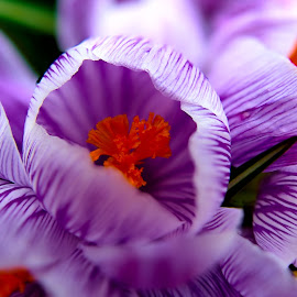 Orange Peeking by Bryce Wilson - Flowers Flower Gardens ( orang, shallow dof, grass, purple flowers, close up, flower )