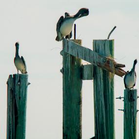 Pelican Roost by Frank Matlock II - Animals Birds ( roost, pier, ocean, birds, pelican )