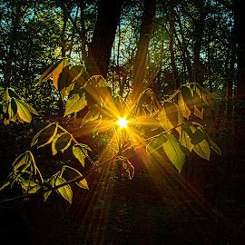 The Forest Through The Trees by Phil Koch - Nature Up Close Leaves & Grasses ( backlit, backlight, green, dark, trees, forest, flare, leaves, light, sun )