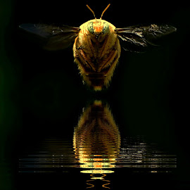 Carpenter bee.. by Yoce Mocodompis - Animals Insects & Spiders