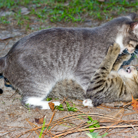 Mom playing with one of the Kids. by Pamela Miller - Animals - Cats Playing