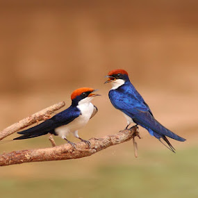 Wire-tailed Swallow by Zahoor Salmi - Animals Birds ( natureanimals, wildlife, zahoorsalmi, birds )