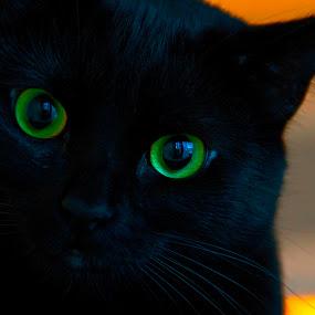 Feral cat as pet. by D. Bruce Gammie - Animals - Cats Portraits ( cat, cat eyes, black, black cat, eyes )