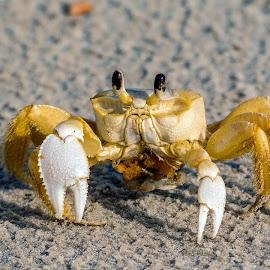 Atlantic Ghost Crab by Robert Sellers - Animals Sea Creatures ( crustacean, crustaceans, florida, beach, ghost, ghost crab, atlantic, crabs, crab )