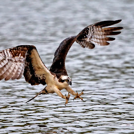 Osprey attack by Jack Nevitt - Animals Birds ( james, striking, flying, talons, virginia, fishing, attack, river, osprey )