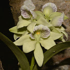 The Fragrant Anacheilium Orchid