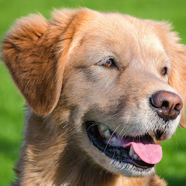 Golden Retriever by Dave Lipchen - Animals - Dogs Portraits ( golden retriever )