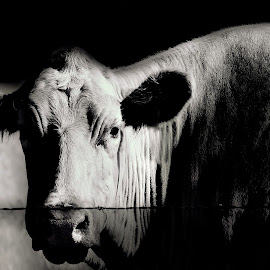 A Cow and Her Bird by Sheen Deis - Black & White Animals ( black and white, agriculture, birds, farming, cows )